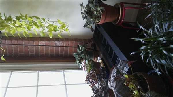 Barbara Lewis verified customer review of Ctenanthe burle-marxii - Fishbone Prayer Plant