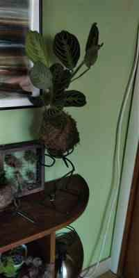 Lorraine Inman verified customer review of Maranta Kokedama