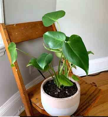 Caroline P. verified customer review of Monstera deliciosa - Swiss Cheese Plant