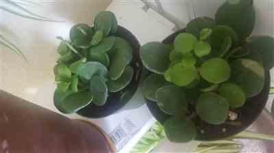 Disheanna Brown verified customer review of Peperomia 'Hope'