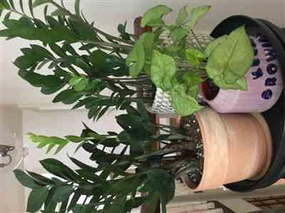 Tracy R. verified customer review of Zamioculcas zamiifolia 'Zenzi'