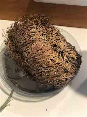 Emily Spencer verified customer review of Resurrection Plant with Hidden Crystal