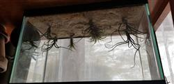 Keith T. verified customer review of Bulbosa Air Plant