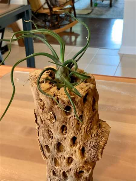 Evelyn Donato verified customer review of Bulbosa Air Plant