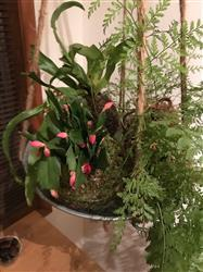 Pistils Nursery Christmas Cactus Kokedama Review