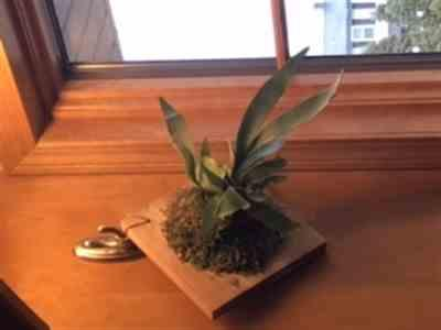 Michele Shaw verified customer review of Staghorn Fern Plaque