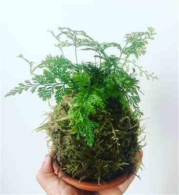 Ekaterina O. verified customer review of Kokedama Kit
