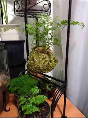 Bozena Z Laca verified customer review of Kokedama Kit