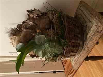 Jennifer Preston verified customer review of Mounted Moosehorn Fern