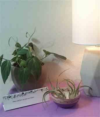 Rachell S. verified customer review of Caput medusae Air Plant