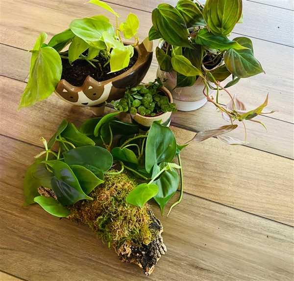 Pistils Nursery Philodendron Cork Mount Review