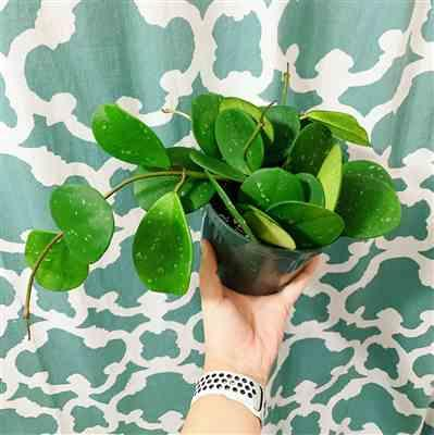 Kayla Leonardi verified customer review of Hoya obovata