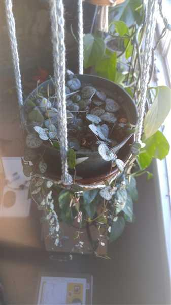 Adriana Anderson verified customer review of Ceropegia woodii - String of Hearts