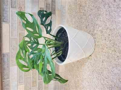 Candice Arthur verified customer review of Monstera adansonii - Swiss Cheese Vine
