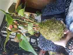 Lena R. verified customer review of Anthurium Kokedama