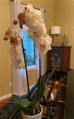 Afloral.com SALE - Real Touch Phalaenopsis Orchids in Cream Pink - 28 Tall Review